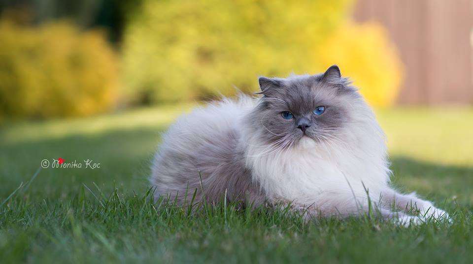 GIC Perfecto Koc-Pol Cat (blue mitted)
