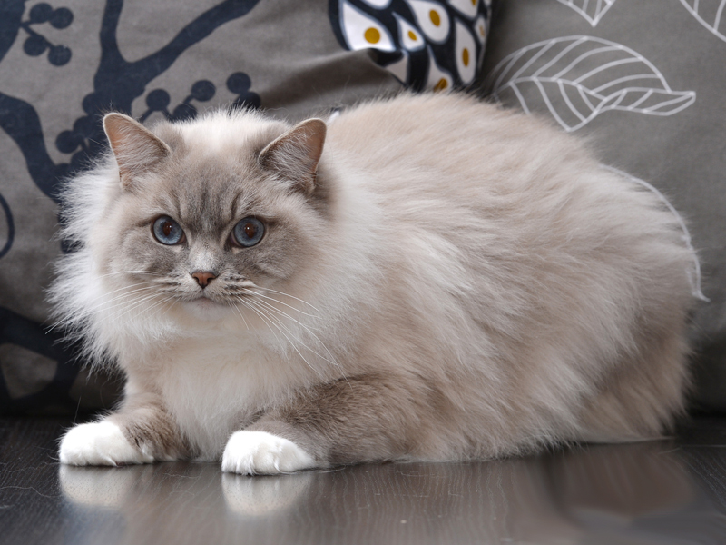 Ch Renee Zellweger Koc-Pol Cat (blue lynx mitted)
